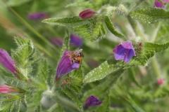 Boraginaceae. Chupamiel. Equium