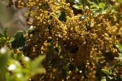 Fagaceae. Coscoja. Quercus coccifera