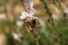 Xhanthomhoeaceae. Gamón. Gamó. Asfodelus