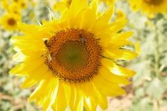 Araliaceae. Girasol. Helianthus annus