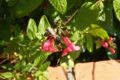 Lamiaceae. Hierbabuena. Menta. Spicata