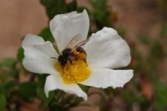 Cistaceae. Jara negra. Cistus monspeliensis