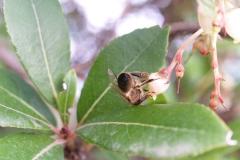 Ericaceae. Madroño. Arbustus unedo