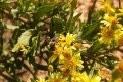 Araliaceae. Olivarda. Dittrichia viscosa