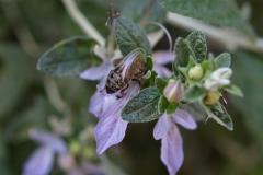 Lamiaceae. Olivilla. Teucrium fruticans.
