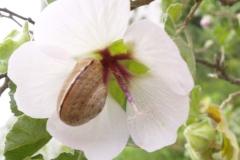Malvaceae. Malva. Lavatera