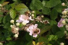 Rosaceae. Zarza. Esbarzer. Rubus