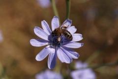 Araliaceae. Achicoria. Cichorium intybus