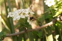 Rosaceae. Espino blanco. Crataegus monogyna