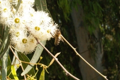 Myrtaceae. Eucalipto. Eucalyptus