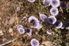 Plantaginaceae. Globularia