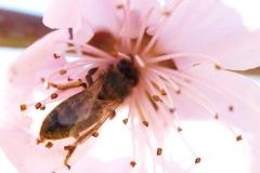 Rosaceae. Nectarino.  Prunus persica