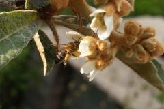Rosaceae. Nispero. Nesprer.  Eriobotrya japónica
