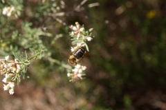 Leguminosae. Socarrillo. Mosqueruela. Dorycnium pentaphylum