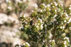 Lamiacea. Tomillo. Timó. Thymus vulgaris