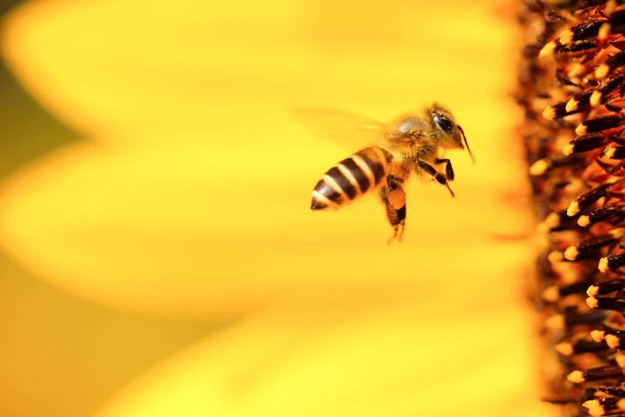 Las abejas de miel y la polinización