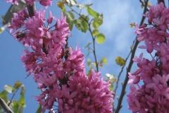Leguminosae. Acacia