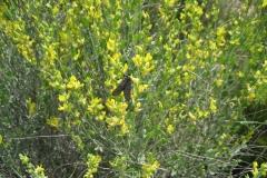 Leguminosae. Albaida. Anthyllis cytisoides