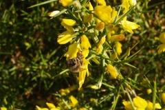 Leguminosae. Aliaga. Argelaga. Ulex parviflorus