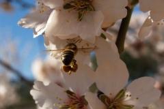 Rosaceae. Almendro. Ametler. Prunus dulcis