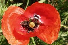 Papaveraceae. Amapola. Papaver rhoeas