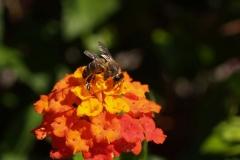 Verbenaceae. Baderita. Lantana cámara