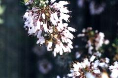 Ericaceae. Brezo. Bruc. Petorret o Cepell. Erica multiflora