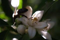 Rutaceae. Cítricos. Citrus