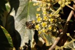Araliaceae. Hiedra. Hedera
