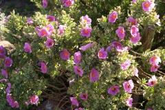 Cistaceae. Jara blanca. Cistus albidus