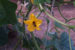 Cucurbitaceae. Pepino. Cucumis sativus