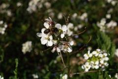 Brasicaceae. Rabaniza. Rabanell. Diplotaxis erucoides