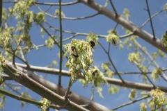 Sapindaceae. Arce. Acer