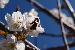 Rosaceae. Cerezo- Cirerer. Prunus cerasus