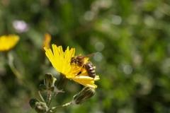Araliaceae. Diente de león. Taraxacum vulgare