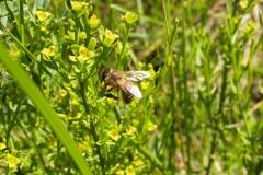 Liliaceae. Esparraguera. Asparagus
