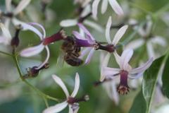 Meliaceae. Melia