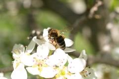 Rosaceae. Peral. Pyrus communis