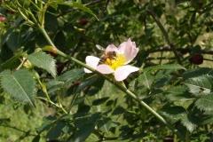Rosaceae. Rosa silvestre. Rosa canina