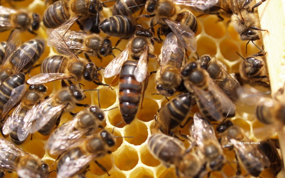 apis_melifera, abella, reina
