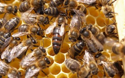 Importaciones de abejas de razas foráneas
